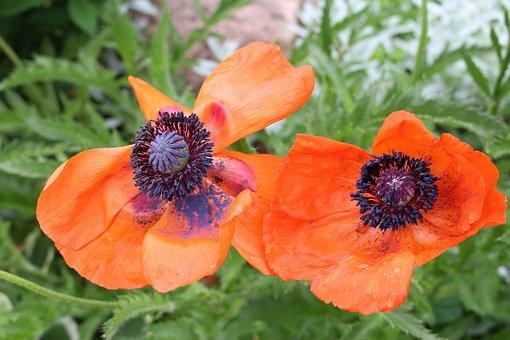 Vegetation, Flowers, Poppies, Red, Full Bloom, Garden