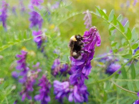 Bumblebee, Flower, Purple