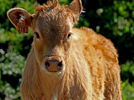 Calf, Rocio Spain, Russet, Ear Tag, Beef, Cow