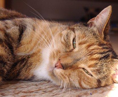 Cat, Sissi, Female, Animal Companion, Sweet, Tabby, Pet