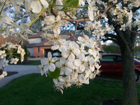 Pear Blossoms, Spring, Flowering Tree