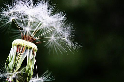 Dandelion, Seeds, Pointed Flower, Meadow, Nature, Close