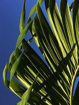 Palm, Leaves, Young Palm Tree, Structure, Fan Palm