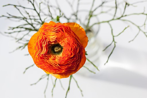 Ranunculus, Flower, Orange, Orange Flower