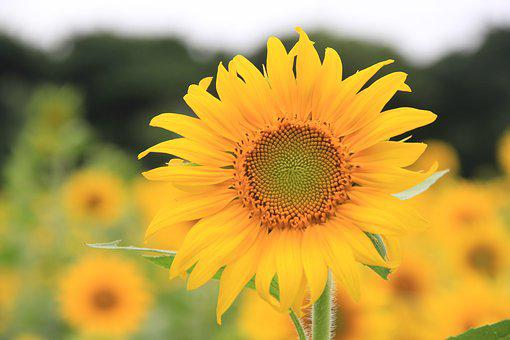 Sunflower, Let Reonpam, Outing