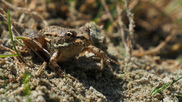 Nature, Frog, Sand, Amphibians
