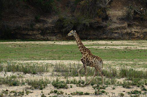 Giraffe, Africa, Safari, Animal, National Park, Mammal