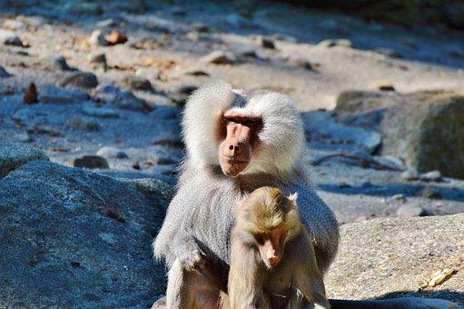 Monkey, Baboon, Animal, Tiergarten, Zoo