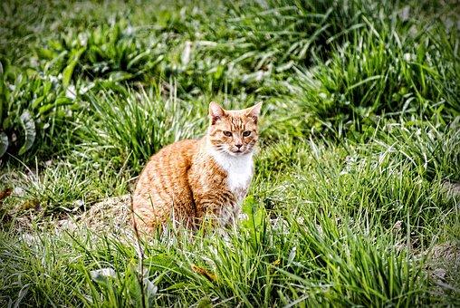 Cat, Meadow, Red Cat, Pet, Red Tomcat, Ausschau