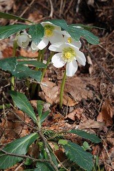 Flower, Spring, Blossom, Bloom, Nature, Anemone Blanda