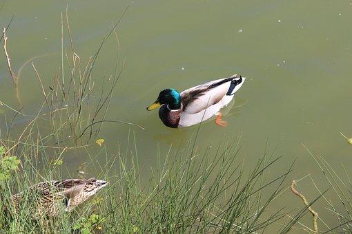 Duck, Water, Park, Toulouse, Blagnac, Pink City, France