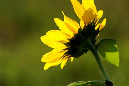 Sun Flower, Rear View, Nature, Flip Side, Back, Flower