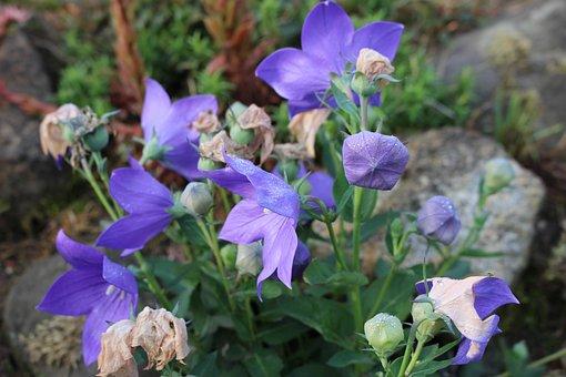 Blue Flower, Flora, Nature, Plant, Summer, Spring