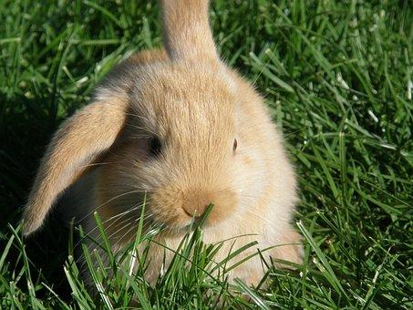 Rabbit, Hare, Floppy Ear, Baby, Rodent, Mammal