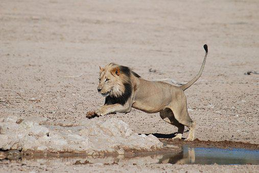 Lion, South Africa, Safari, National Park, Africa