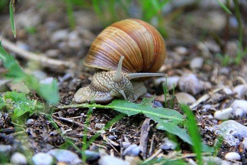 Snail, Garden, Animal, Mollusk, Slowly, Reptile, Probe