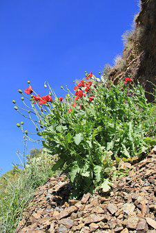 Poppy, Spain, Mountainside, Spring, Bloom, Plant