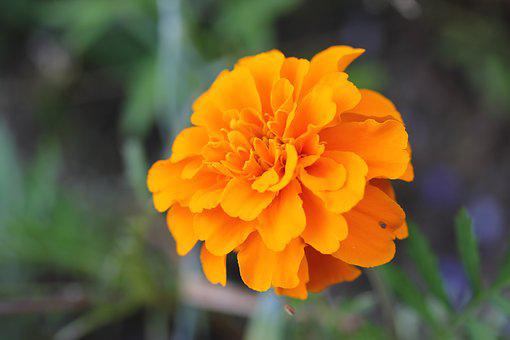 Flower, Nature, Pfingstsrose, Yellow Flower
