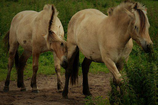 Horses, Paddock, Coupling, Pasture, Animal, Stallion
