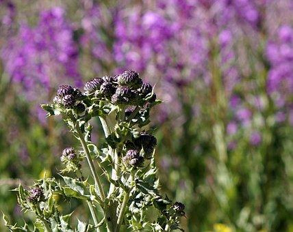 Thistles, Plants, Plant Wildlife, Cotton Thistle