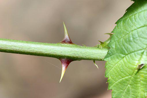 Thorns, Rose, Sting, Pointed, Nature, Prickly, Plant