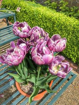 Tulips, Spring, Flower, Garden, Pink