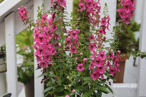 Pink Flower, Purple, Plant, Spring, Summer, Blooming