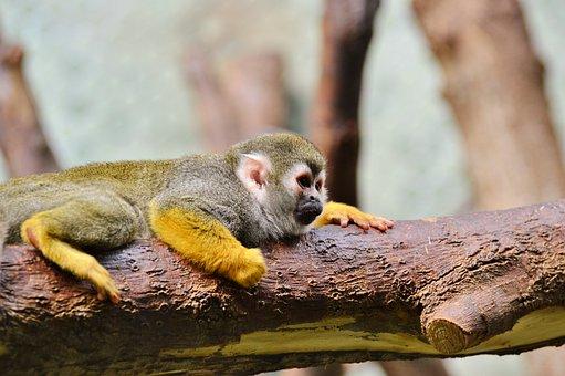 Monkey, äffchen, Capuchins, Capuchin Monkey, Zoo