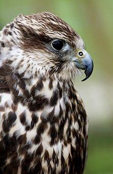 Saker Falcon, Falcon, Falconry, Birds Of Prey Show