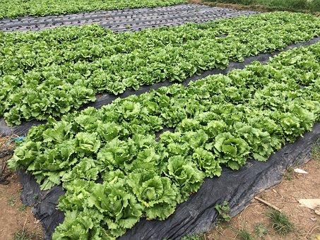 Lettuce, Cabbage, Farm, Organic, Natural, Baguio, Green