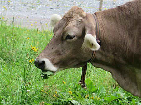 Cow, Cow's Head, Depression