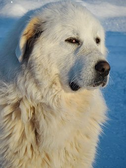 Great Pyrenees, Dog, White, Snow, Pet, Animal, Canine