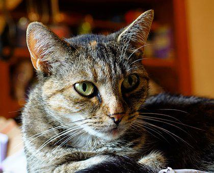 Cat, Pet, Portrait, Mackerel, Eyes, Domestic Cat