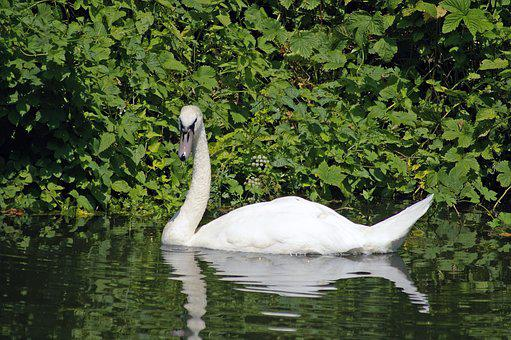 Swan, The National Trust River, England