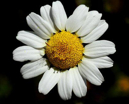 Daisy, Flower, Nature, Plant, Floral, White, Summer