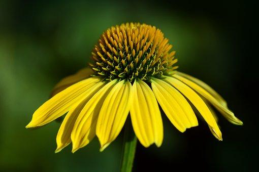 Sun Hat, Flower, Ordinary Sonnenhut, Yellow, Macro