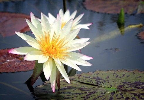 Water Lilies, Flowers, Pond Plants, Nature, Pond