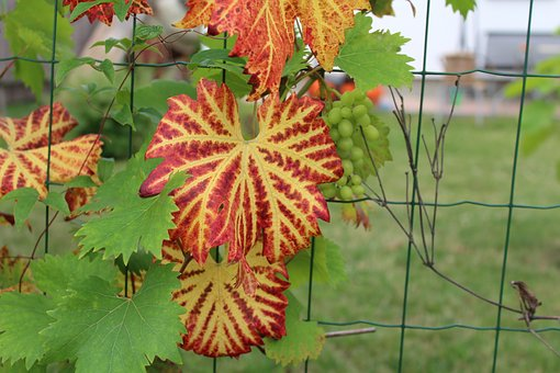 Foliage, Garden, Nature, The Cultivation Of, Grapes