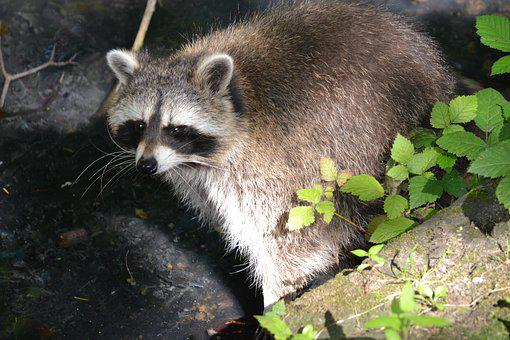 Raccoon, Forest Animal, Forest, Wild Animal