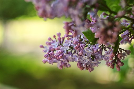 Lilac, Greens, Nature, Flowers, Beauty, Plant, Green