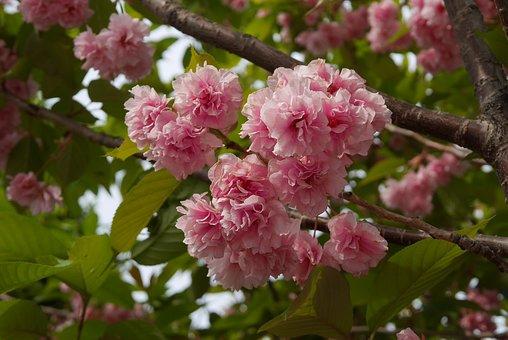 Cherryblossom, Pink, Blossom, Nature, Spring