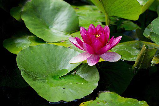 Water Lily, Lily Pad, Pond, Pink, Lily, Flower, Bloom