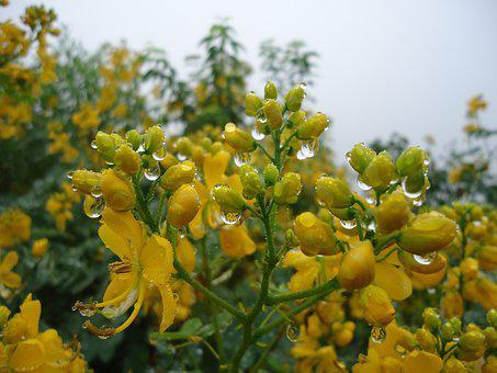 Yellow Flowers, Wild Flowers, Rain, Drops