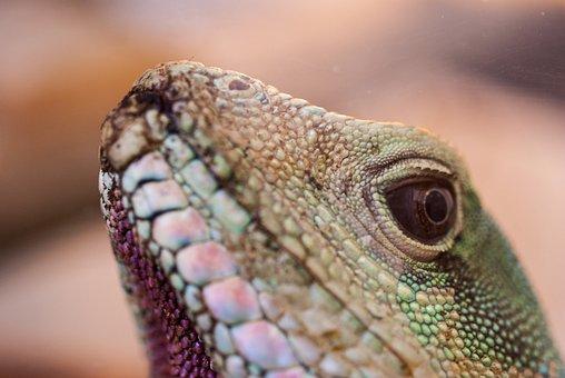 Agama, Reptile, Lizard, Agama Water, Vivarium, Animal