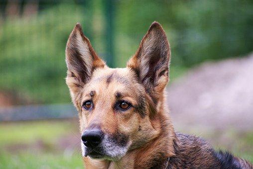 Schäfer Dog, Dog, Portrait, Wildlife Photography, Pet
