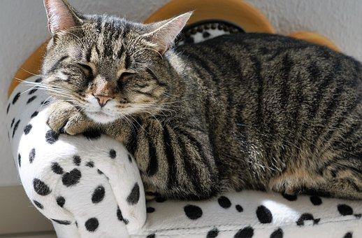 Cat, Sofa, Canape, Animal, Tiger, Tigerle, Dalmatians