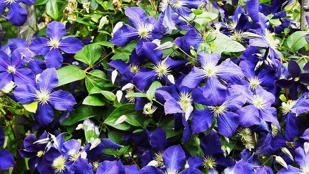 Vegetation, Flowers, Garden Flowers, Clematis, Violet