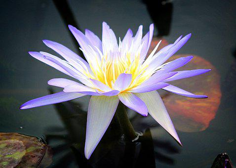 Water Lilies, Flowers, Pond, Pond Plants, Nature