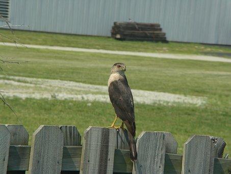 Bird, Hawk, Wildlife