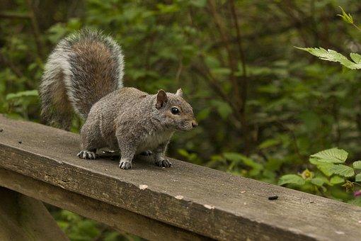 Squirrel, Nature, Wild, Wildlife, Animal, Mammal
